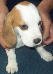 Kc Registered Beagle Puppies Available Now